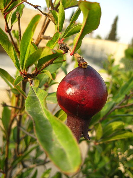 Pomegranates are one of the seven spices of Israel. Photo: Wikipedia Commons
