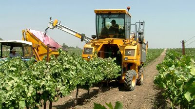 Harvest truck gathering grapes