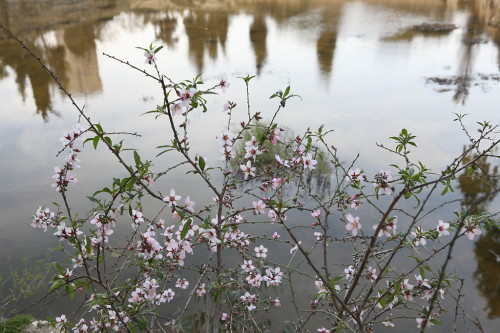 Almond blossoms in time for Tu B'Shvat [image: Wikimedia Commons]